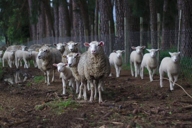 sheep-1246204_1920